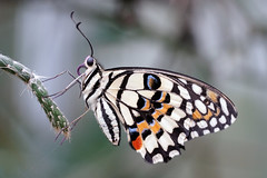 Purple tongue (Wim van Bezouw) Tags: butterfly insect nature outdoor exotic