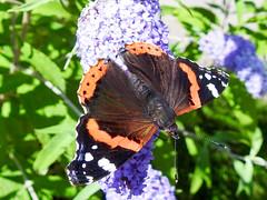(Lepidoptera: Nymphalidae) Vanessa atalanta, Amiralfjril / Red Admiral (holgeric77) Tags: karlstad vrmlandsln sweden se lepidoptera nymphalidae vanessaatalanta