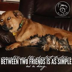 And Yorkies make the very best friends. (itsayorkielife) Tags: yorkiememe yorkie yorkshireterrier quote