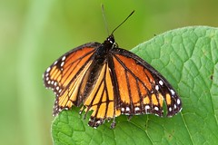 Resting Monarch (imageClear) Tags: nature aperture nikon d500 sigma sigma150600 resting monarch imageclear flickr photostream