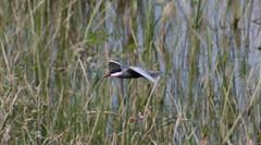 Whiskered Tern - Lake Skadar - 20160610c (mwiddo) Tags: monenegro birds whiskered tern lake skadar
