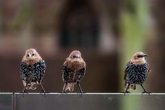 starlings (stevehimages) Tags: steveh stevehimages steve higgins wowzers warden grandpas den birmingham bird starling 2016