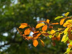 Kreischa, Kurpark, Herbstlaub (joergpeterjunk) Tags: kreischa sachsen outdoor kurpark panasonicdmcfz200 bridgekamera pflanze herbstlaub laub