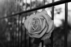 Happy Fence Friday! HFF! (martinap.1) Tags: happy fence friday zaun rose bw schwarz weis mono nikon d3300 sw flower blume