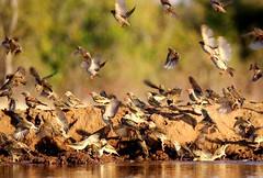 Botswana (ClaDae) Tags: botswana africa wild wildlife animal animals free natur hide fast