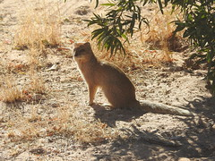 yellow mongoose  in Mata Mata camp in Kgalagadi Park (Pete Read) Tags: yellow mongoose mata camp kgalagadi park