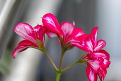 Blume (Nic2209) Tags: nic2209 flickr 2016 allemange alemania europa deutschland germany ruhrgebiet ruhrpott westfalen hagen blume makro nikond500 nikon d500