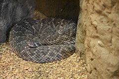 Western Diamondback Rattlesnake (Adventurer Dustin Holmes) Tags: 2016 dickersonparkzoo westerndiamondbackrattlesnake snake snakes diamondbackrattlesnake dangerous animal animals animalia chordata zoo