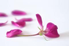 Naturaleza casi muerta (hequebaeza) Tags: fondoblanco whitebackground geranio geranium ptalos petals nikon d5100 nikond5100 tubosdeextensin ebcfujinon1450mm macro hequebaeza