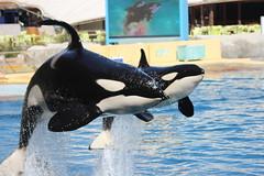 IMG_6907 (Bebelouga) Tags: orque marineland killerwhale orca