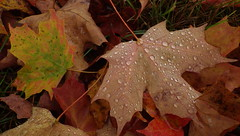 Dry Leaves, Little Moisture - IMGP6473 (catchesthelight) Tags: fall foliage fallfoliage leaves colorchange maples raindrops