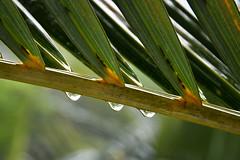 Triplets (Paul Chan - Canada) Tags: nikond500 nikonafs1685mm3556geddxvr ella ellasrilanka rawanaresort paulchancanada 201607285005900 raindrops raindropsfromplant srilanka