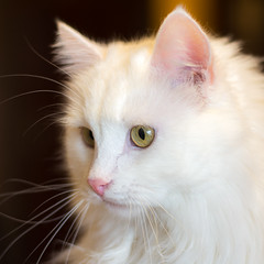White Cat (kuhnmi) Tags: cat white katze kater weiss weisserkater   animal tier tierwelt  closeup nahaufnahme miezekatze pussycat eye eyes augen blick