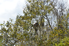 F7K_6125 (68photobug) Tags: 68photobug nikon d7000 nikkor 28300mm usa centralflorida polkcounty lakeland circlebbar reserve preserve refuge park marsh sanctuary wetlands pinescrub nature naturecenter discoverycenter environmentalcenter wildlifemanagement alligatoralley mammal coon raccoon acorn oak
