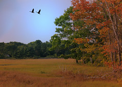 Flying south (Patricia McAtee - Photos of Maine) Tags: geese autumn autumninmaine autumncolors marsh marshlands wildlife
