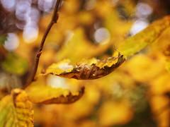 2016-10-24_16-19-48 (torstenbehrens) Tags: olympus penf sigma 1850mm f28 dc natur bokeh tarbek schleswigholstein nature