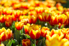 Tulips in the Park (Aperture-Photo) Tags: disneyland outdoors nikon d7000 digital 50mm lens