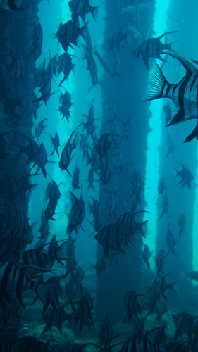 More old wives in an underwater pylon forest