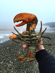 Lobster wash up after storm (Phil from NB) Tags: new sea canada up golf island north brunswick lo nb atlantic east newbrunswick wash shore maritime lobster stlaurent washup miscou