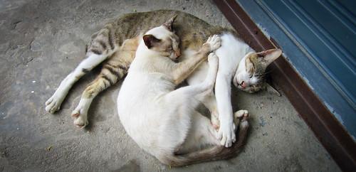 Sleeping cats - Hua Hin, Thailand