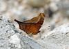 Banded Mapwing (Hypanartia dione dione), Guacamayos, Ecuador (Terathopius) Tags: ecuador nymphalidae guacamayos bandedmapwing falsedaggerwing hypanartiadionedione