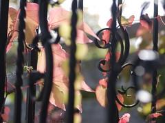 Weinlaub Wild Vine Leaves Leaf Wilder Wein Herbst Autumn (c) (hn.) Tags: autumn copyright fall leaves fence germany garden season de bayern deutschland bavaria leaf heiconeumeyer europa europe laub herbst gaissach jahreszeit oberbayern tlzerland upperbavaria wroughtiron eu vine vitaceae zaun blatt bltter garten wein virginiacreeper parthenocissus oberland copyrighted gelnder weinblatt vineleaves reling vineleaf wilderwein wildvine gusseisen weinlaub ostfeldstrasse laubblatt gusseisern landkreisbadtlzwolfratshausen ostfeldstrase gaisach badtlzwolfratshausen weinrebengewchse