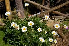 Bolivia - Isla del Sol (Hercules.) Tags: daisies fences bolivia 2014 flowersplants isladelsolbolivia