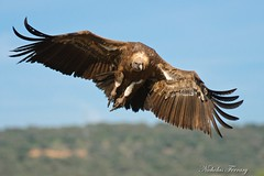 On Approach (Nicholas Ferrary) Tags: nature birds spain nikon wildlife vultures vulture carrion raptors birdsofprey buitreleonado buitre griffon griffonvulture sierramorena soaringbirds nikon200400mmvr spanishwildlife nicholasferrary d800e nikond800e caroñada