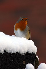 Robbie 03.02.15-6 (jonf45 - 2.5 million views-Thank you) Tags: snow cold bird robin garden friend lincolnshire feathered cowbit