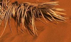 Hugging (haidarism (Ahmed Alhaidari)) Tags: nature hugging sand hug desert ngc dry palm frond