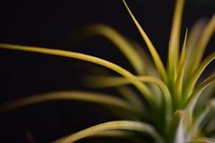 Tillandsia (Lynn Wen (pandadd)-BUSY!) Tags: macro nature nikon tillandsia druid 60mm ionantha airplant naturemacro nikond810 afsmicronikkor60mmf28ged