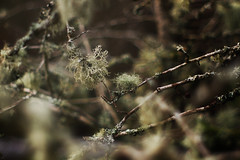 Old Man's Beard (i-r-paulus) Tags: trees lichen dartmoor oldmansbeard