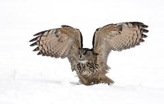 Eagle-owl_1895 (Peter Warne-Epping Forest) Tags: scotland birdofprey cairngorms bubobubo eagleowl