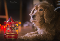 Let your heart be light (MaraLuisa ) Tags: christmas portrait dog lights bokeh cockerspaniel greeting
