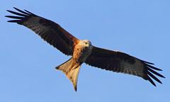 Red Kite (Treflyn) Tags: uk red wild kite bird garden reading back wildlife united over kingdom raptor prey berkshire earley