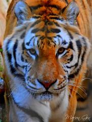 Tiger (Marion_Grn) Tags: orange white black nature mammal photography zoo nikon noir photographie tiger jungle moustaches blanc tigre pattes carnivore mammifre faune panthera oreilles tygrys barben rayures griffes flids tiikeri flins  animalire d5200 flinids togair