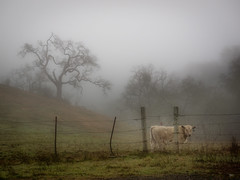 Tree, Cow, Fog (andertho) Tags: tree fog landscape cow olympus santaclaracounty m43 josephdgrantcountypark microfourthirds