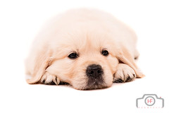 Golden Retriever (Hugo Flix) Tags: portrait dog pet baby brown white cute beautiful face up look animal closeup modern standing hair puppy studio fur fun mammal happy golden furry friend funny labrador sitting sad close little sweet head expression background over young adorable canine retriever domestic blond friendly doggy pup breed isolated loyal pedigree purebred