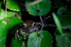 Frog at night in Ranomafana