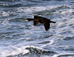 cormorant (scouser185) Tags: cormorant