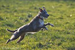Fun shots of Lotty #2 (Gale's Photographs) Tags: dog female fun jumping nikon ears frisbee leaping lurcher lotty 70300vr d7000 bedlingtonxwhippet nikond7000