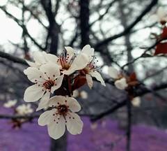 Channeling Plum Flowers (sjrankin) Tags: test flower edited plum local output generated plumtree plumflower 22february2015 1307mb