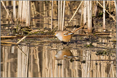 Bearded Tit (F) reflected Explored 25/2/2015 (Smudge 9000) Tags: uk winter bird british stodmarsh 2015 nnr beardedtit