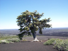 A limber pine (USDAgov) Tags: trees forestry unitednations forests climatechange fs greenhousegasemissions internationaldayofforests imaginewhatatreecando