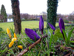 Bursting Through (scottprice16) Tags: uk flowers england spring crocus lancashire clitheroe clitheroecastle canons95