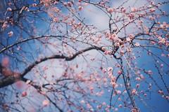 Pink Messengers (lestaylorphoto) Tags: travel pink flowers japan tokyo spring nikon shrine leslie taylor yushima tenjin plumblossoms ipad d610  vsco lestaylorphoto vscocam