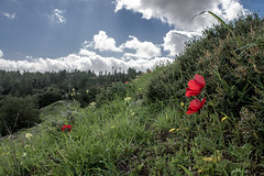 Blooming Hillside (Sam.Al) Tags: flowers blue red sky green nature colors beauty grass clouds landscape wildlife hill middleeast bloom layers landschaft aladin samara moountain israelpalestine   jeruslame redanemonecoronaria