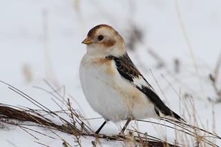 Snow Bunting (Plectrophenax nivalis)_2