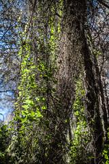 Naturaleza Cautivadora... (rafaelcuberos) Tags: naturaleza green nature forest hojas lights leaf sierra leafs malaga mijas andalusian naturelight alhaurndelatorre naturalezacautivadora