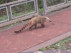 Coati on the Path